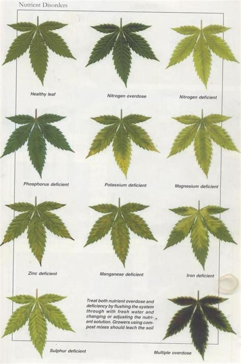 black light for growing weed nutrient disorders medical marijuana pinterest