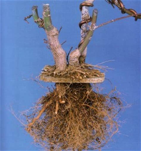 maple tree roots surface an ingenious technique bonsai bark