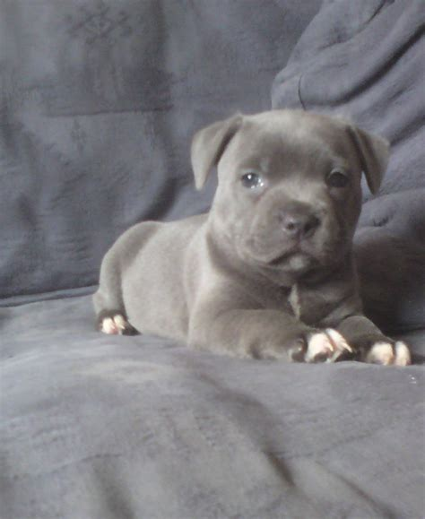 blue staffy puppy top quality solid blue staffy pups kc registered newton abbot pets4homes