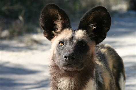 painted dogs photo gallery
