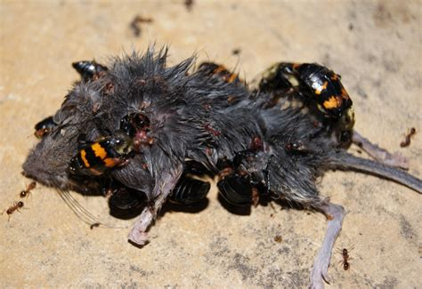 what eats bed bugs burying beetles eat mouse what s that bug