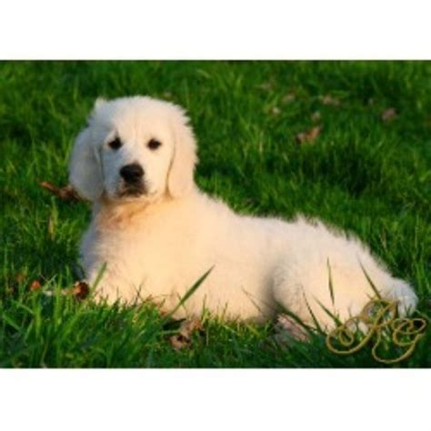 golden retriever puppies nc golden retriever stud in carolina breeds picture