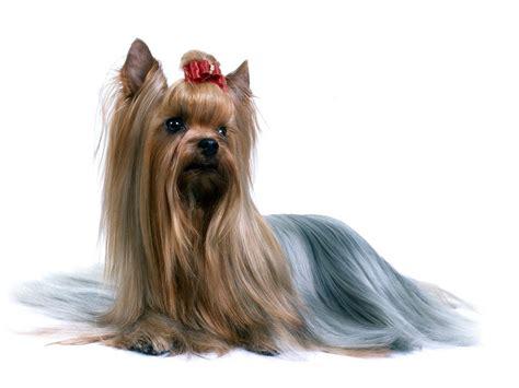 types of yorkie haircuts australian silky terrier australian silky terrier long