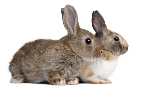 buy a house rabbit how to buy rabbits
