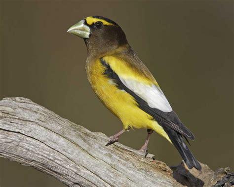 evening grosbeak audubon field guide
