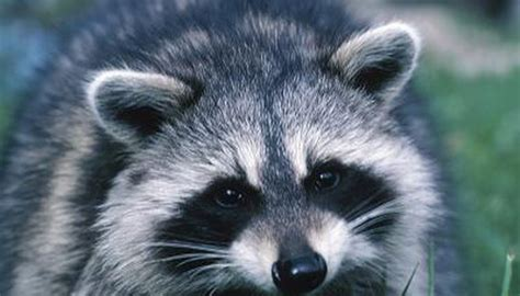 what color are raccoons what colors are raccoons animals me