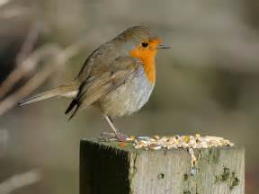 what do robins eat nature detectives