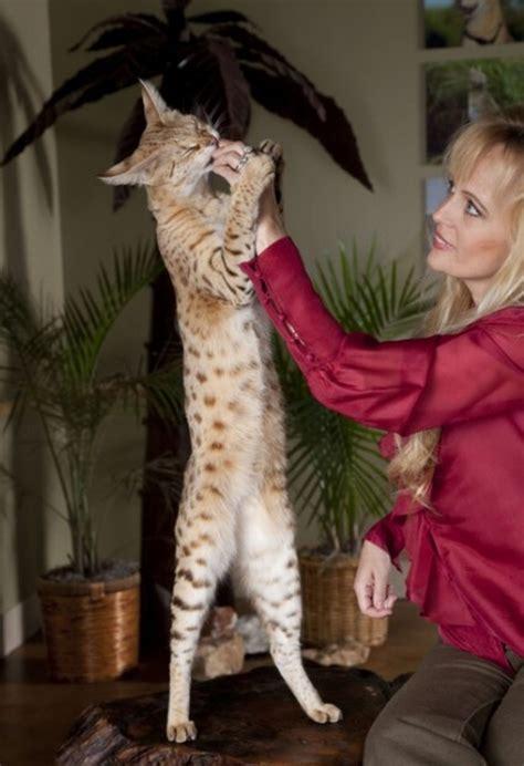 Komik Alto 2 cat magic the tallest cat in the world 12 pics