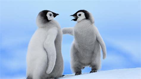baby penguins wallpaper 1600x900 45958