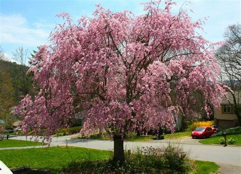 trees for the backyard weeping cherry best trees to plant 10 options for the