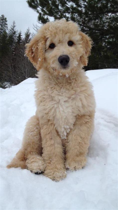 doodle puppy finder best 25 golden doodle puppies ideas on