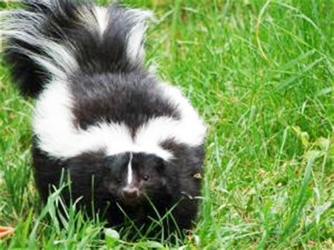skunk in my backyard how to skunk proof your yard south carolina sc