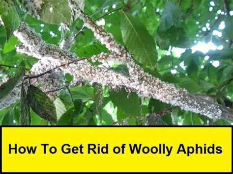 How To Get Rid Of White Mites In Kitchen by How To Get Rid Of Woolly Aphids