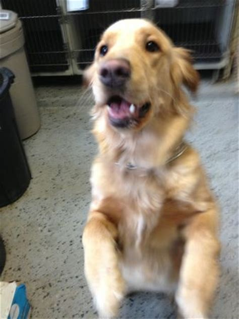 found golden retriever found golden retriever hazel park animal michigan humane society