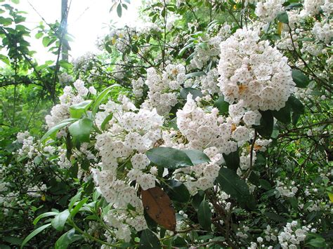 kalmia latifolia kalmia latifolia wikispecies