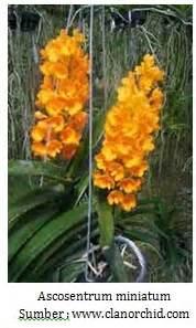 Bibit Anggrek Hitam Papua quot singhasari orchid quot jenis angrek