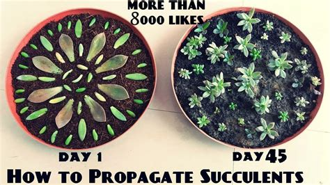 how to propagate succulents fast n easy youtube