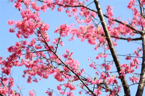 gambar bunga sakura  wallpaper gudang wallpaper