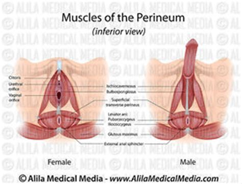 diagram of perineum alila media perineum muscles in and