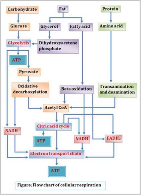 cellular respiration flowchart diagram of cellular respiration of glucose image