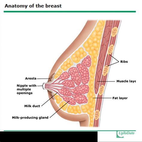 diagram of the breast anatomy human anatomy diagram