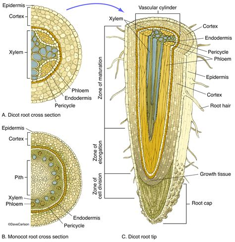 cross section of monocot root root structure carlson stock art