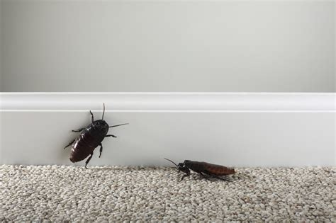 get rid of roaches naturally roach killer
