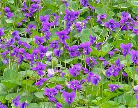 new jersey state flower wood violet home pinterest wisconsin state flower wood violet