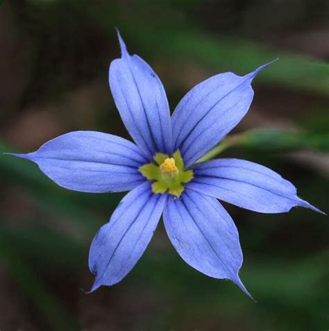 blue eyed names 70 best purple flowers images and growing tips j birdny