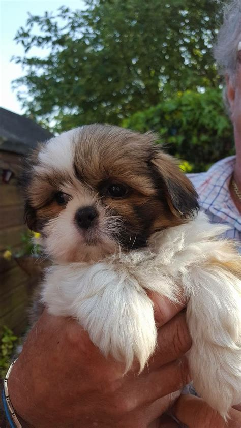 how to your shih tzu how to up your shih tzu 7 steps with pictures wikihow