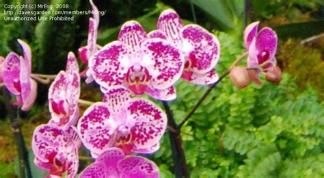 Ming Garden Chaign plantfiles pictures orchid moth orchid phalaenopsis chian xen pearl ming ho phalaenopsis