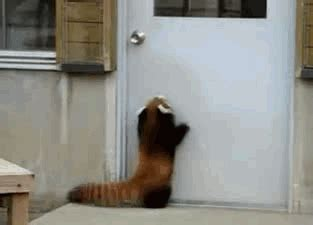 door closed gifs find share red panda door gif find share on giphy