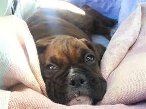 Baby black boxer dog cutest boxer puppy meets boxer dog for the first