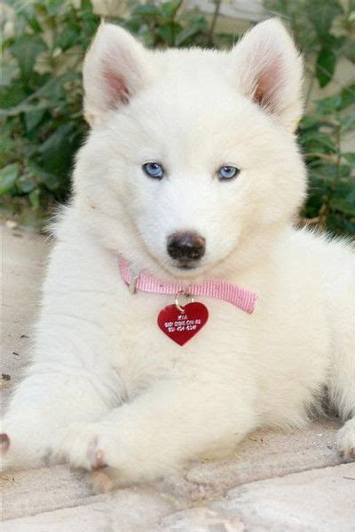 white husky puppy with blue 25 best ideas about white siberian husky on siberian husky puppies husky