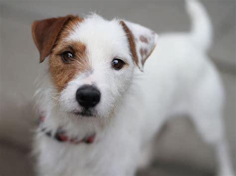 pics of long hair dark browm terriers hank jack russell terrier