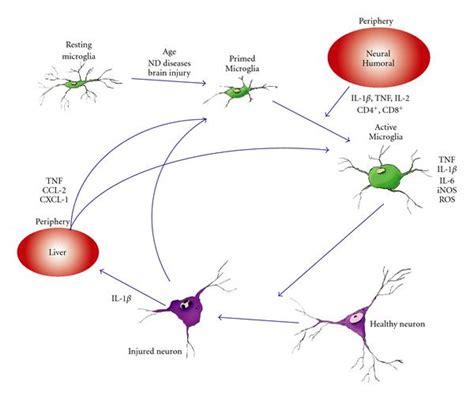 pathophysiology of leprosy diagram schematic diagram pathophysiology of leprosy