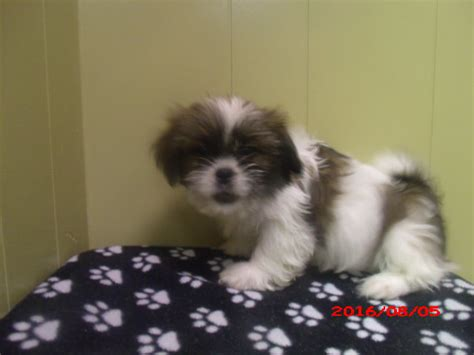 shih tzu puppies for free in nj view ad shih tzu puppy for sale new jersey paterson