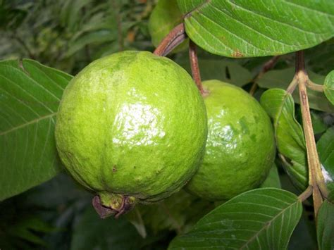 fertilizer for fruit trees the right fertilizer for guava tree beabeeinc