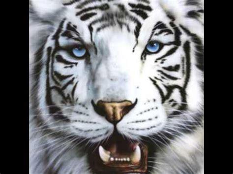 imagenes de jaguar blanco tigres blancos en peligro de extinci 243 n youtube