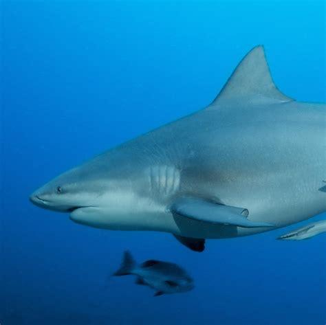 bull shark national geographic
