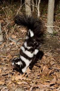 skunk colors oklahoma trapping mobile outdoor guide