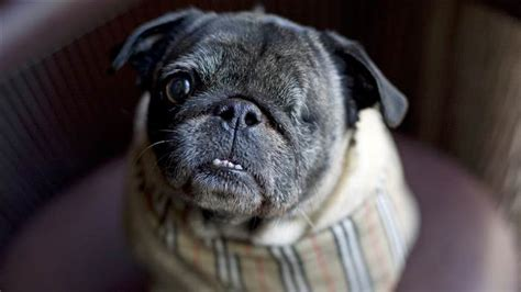 pug airport one eyed pug finds furever hotel home at park hyatt chicago today