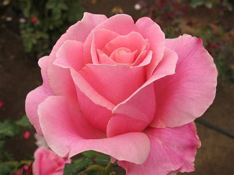 rosa fiore immagini pink roses hd wallpapers free pink roses hd wallpapers