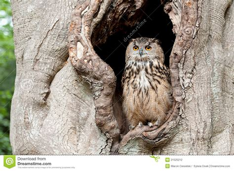 Owl Maxy By Dans owl in a tree hollow stock photo image of feather