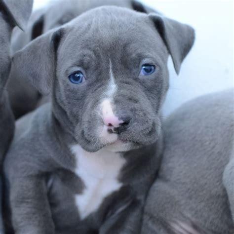 free pitbull puppies michigan pitbull puppies for sale in michigan breeds picture
