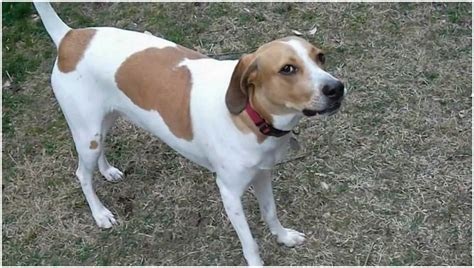 treeing walker coonhound puppies treeing walker coonhound facts pictures puppies rescue temperament breeders