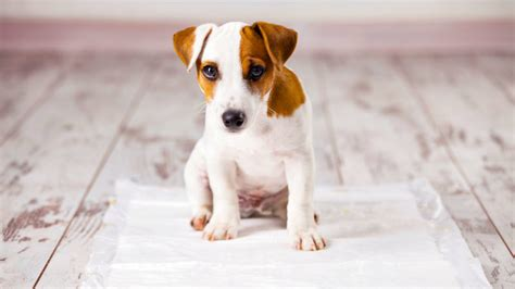 how to house train a dog without a crate how to housetrain a dog without sacrificing your floors realtor com 174