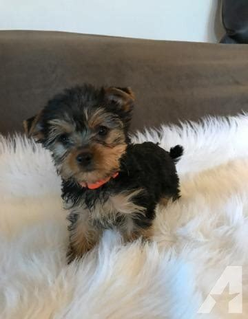 yorkies for sale sc teacup yorkie for sale in bluffton south carolina classified americanlisted