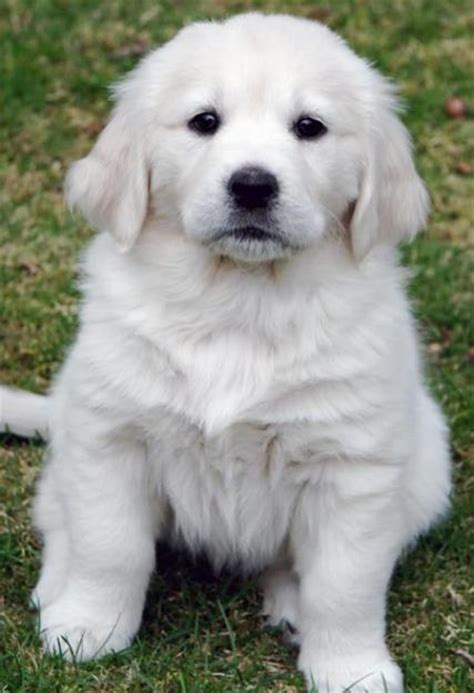creme golden retriever retriever dogs for sale breeds picture