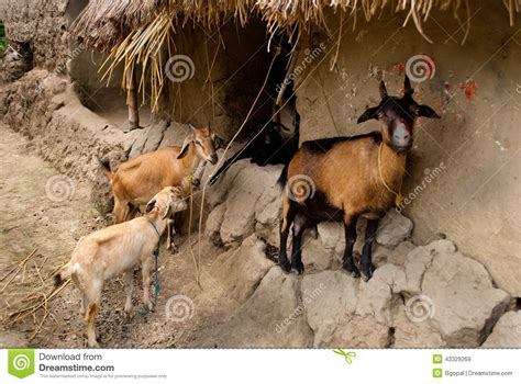 Indian Domestic Animals Images